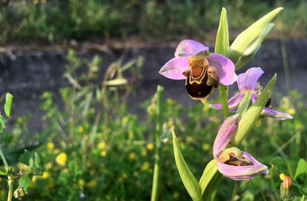 floración colectiva